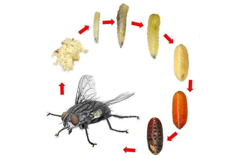 Cycle de vie d'une mouche